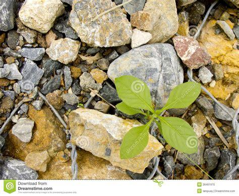 plant grow on rocks stock photo image 26461970