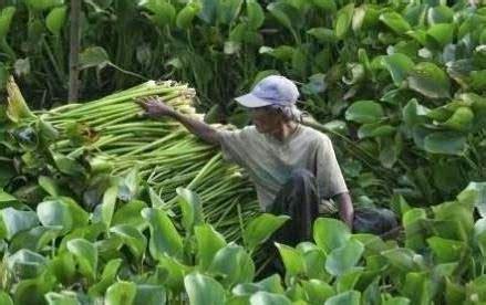 manfaat daun eceng gondok bagi kesehatan manfaat daun obat