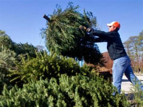 recycling christmas trees in anne arundel county odenton