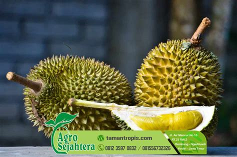 Bibit Durian Raja Musang jual bibit benih durian musang king asli