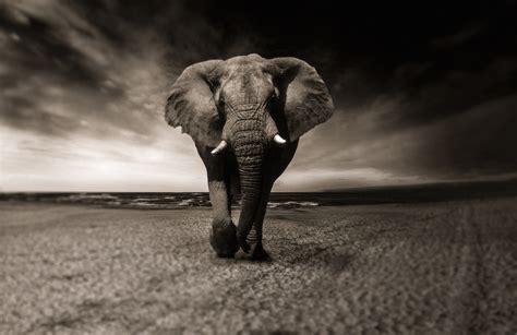 Monochrome Graphic 7 Original Oceanseven elephant animal monochrome free stock photos desktop hd wallpaper