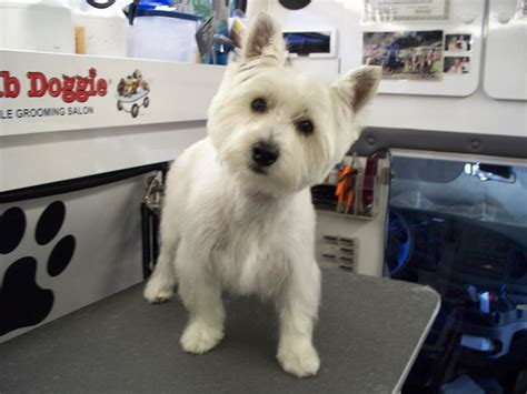 images of westie hair cuts grooming styles for shitzuyorkie dogs