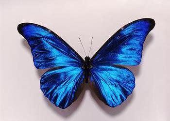 imagenes sobre mariposas mariposas informacion sobre animales