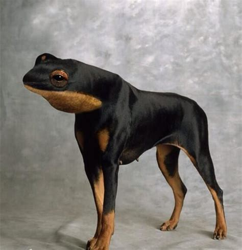 frogs to dogs or frog quot animal mashups quot animals and dobermans