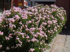 Summer Flowering Shrubs Flowering Shrubs Summer Color That Beats The Heat The