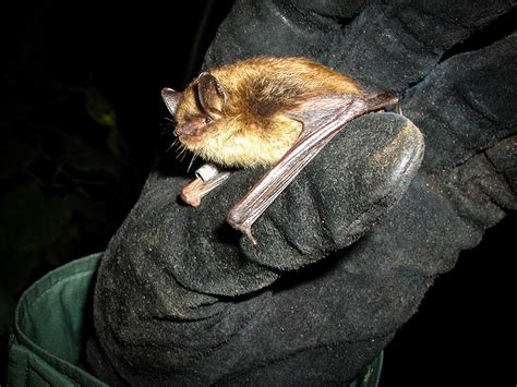 vt ny bats winter in maine to survive white nose wamc
