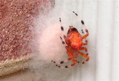 pumpkin spider pumpkin spider with egg sac what s that bug