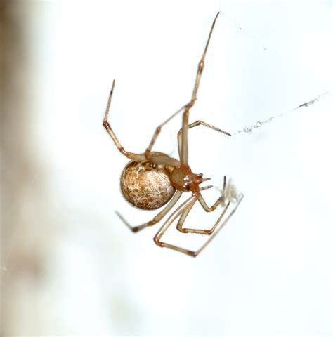 american house spider american house spider by pitbulllady on deviantart