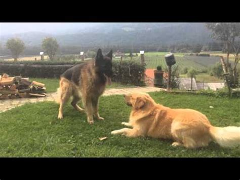 golden retriever vs german shepherd fight morning fight german shepherd vs yellow lab funnydog tv