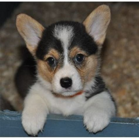 corgi puppies florida corgi puppies florida breeds picture