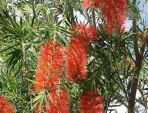 Pohon Sikat Botol Bunga Merah Pohon Hias Berdaun Wangi tanaman sikat botol merah bottlebrush bibitbunga