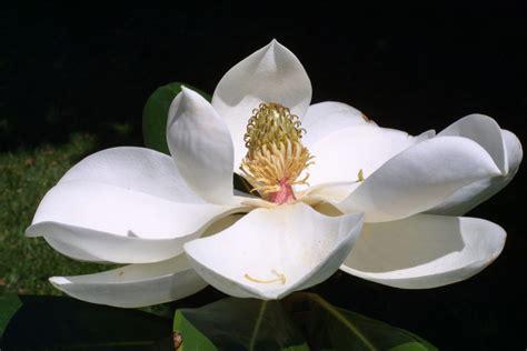 imagenes de magnolias blancas magnolia hd im 225 genes y fotos