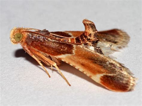 What Is A Pantry Moth by Pyralis Farinalis Meal Moth Norfolk Micro Moths The