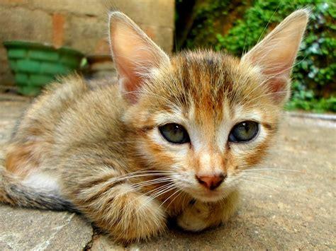 imagenes de animales gratis foto gratis gatos gatitos animales mam 237 feros imagen