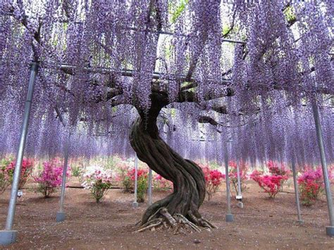 kawachi fuji garden kawachi fuji gardens wisteria tunnel canuckabroad places