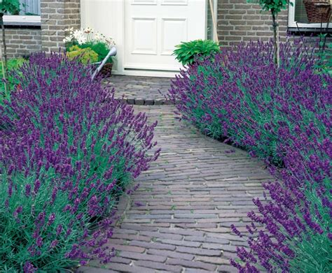 Harga Bibit Bunga Lavender benih lavender munstead strain