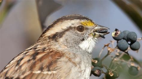 what do sprallow hawks eat top 28 what do sparrow eat best 28 what do sparrow eat sparrows do sparrow