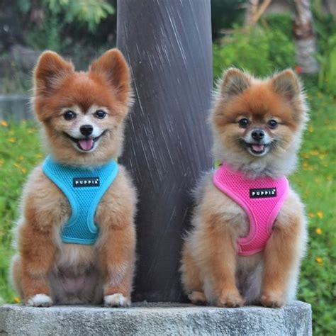 pomeranian puppy harness pomeranian puppia harness s in sizes xs at www ilvepugs co uk for all breeds
