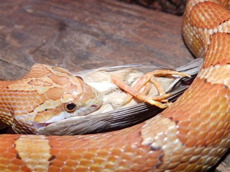reptiles amphibians fish corn snake eating a bird