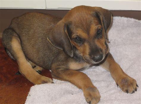 puppy ringworm lizardmarsh laplace la news update re puppy with