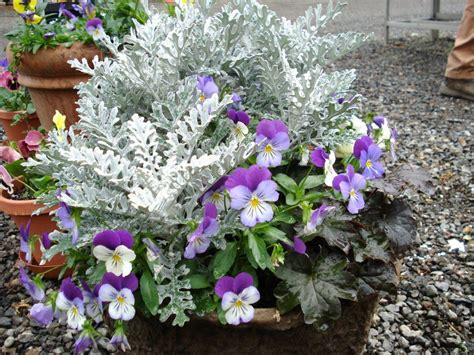 winter flowering container ideas pansies dusty miller and black ajuga ashland oregon garden