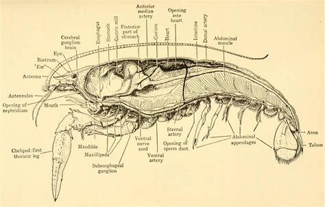 crayfish diagram crayfish diagram