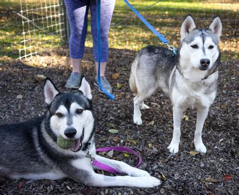 husky puppies for adoption in pa 25 best ideas about husky adoption on stories husky for