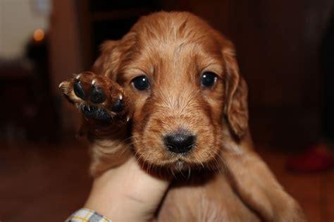 puppy cocker spaniel cocker spaniel puppies for sale wrexham wrexham pets4homes