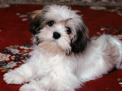 tiny puppy all small dogs images havanese hd wallpaper and background photos 14929806