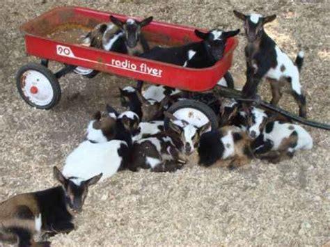 diy toys  goats    busy