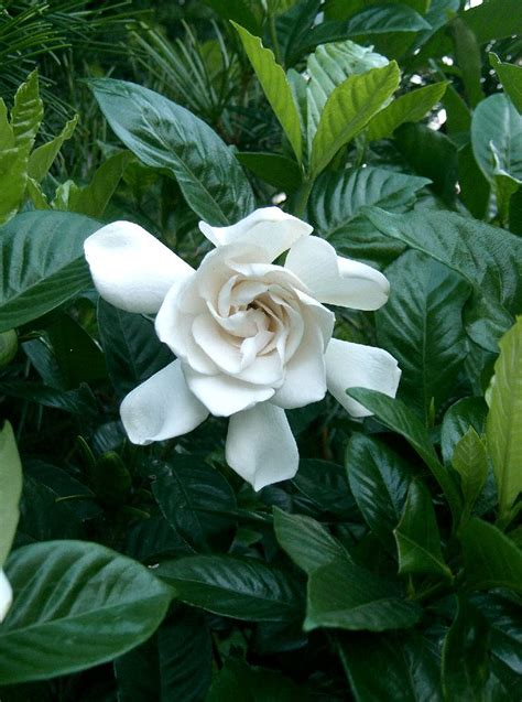 gardenia jasminoides wikipedia la enciclopedia libre
