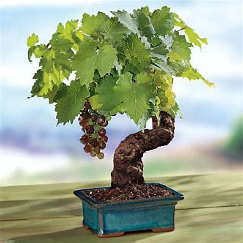 Cabernet Grapevine Bonsai It Or It by You Re Sure To Feel Zen After You See These 51 Stunning Bonsai