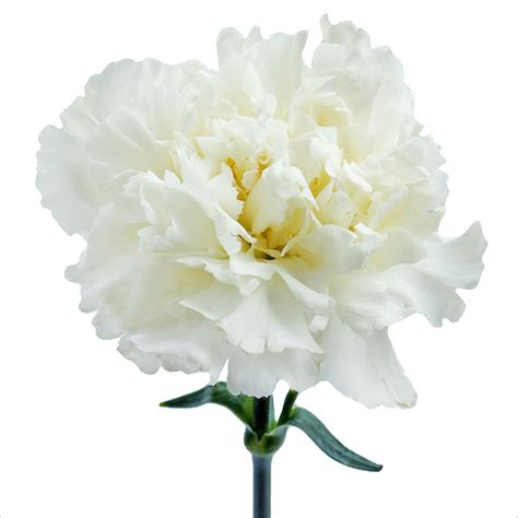 White Flowers by Image Gallery White Carnations