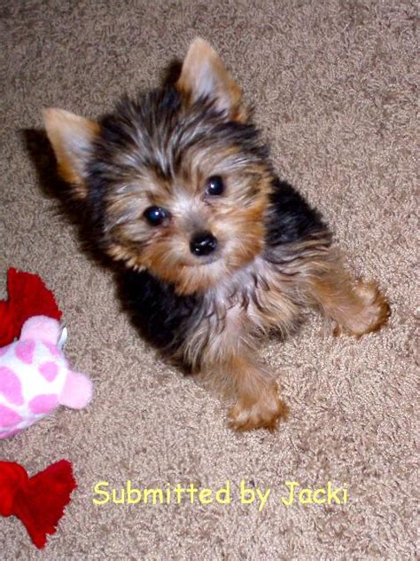 yorkie puppies mn teacup yorkie puppies for sale mn breeds picture