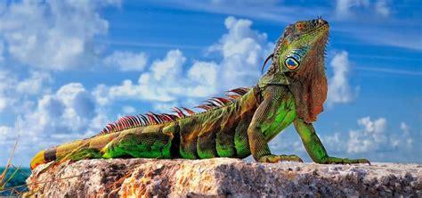 imagenes iguanas verdes iguana verde caracter 237 sticas qu 233 come d 243 nde vive