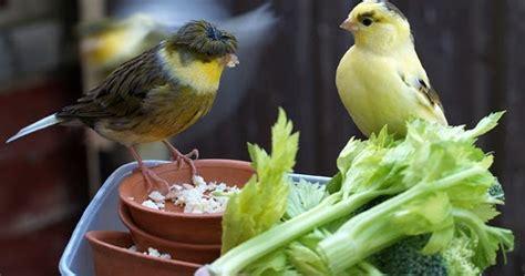 alimentazione canarino l alimentazione canarino guida pratica pets