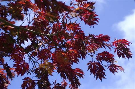 maple tree wilting leaves if japanese maple isn t sprouting leaves check for verticillium wilt oregonlive