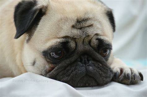 pug acne pug images frompo