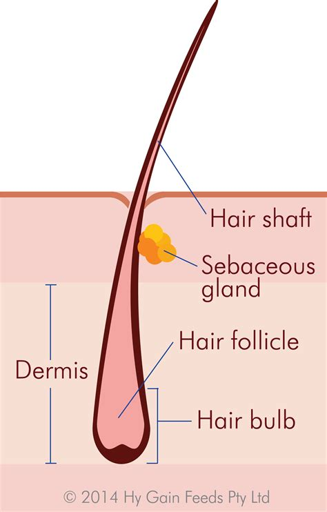 hair diagram hair follicle diagram 28 images hair anatomy learning