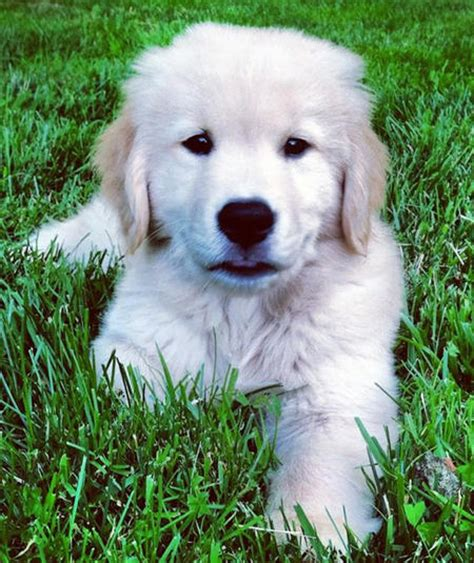 how fast do golden retriever puppies grow riggins the golden retriever puppies daily puppy