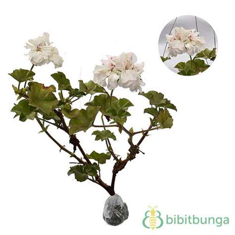 Tanaman Hias Bunga Geranium Pink tanaman geranium putih bibitbunga
