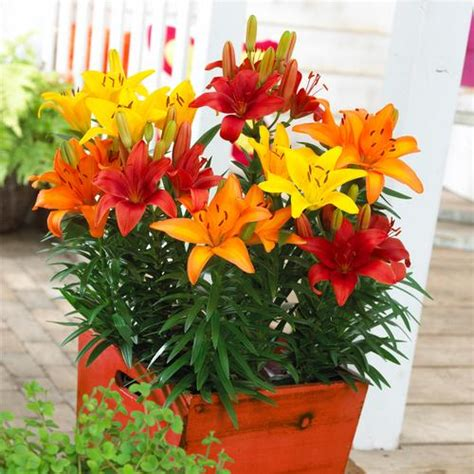asiatic pot lily combo lilium lily  harvest patio