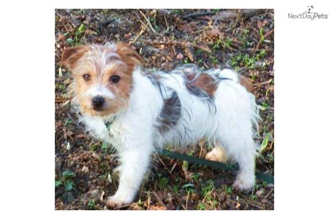 puppies available for adoption near me terrier puppy for sale near battle creek michigan 3cbe9be8 e081