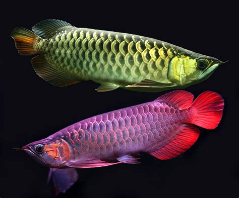 freshwater fish stunning and full of color asian arowanas exotic