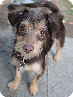 wire haired terrier yorkie mix doxies to adopt on dachshund salem oregon and adoption