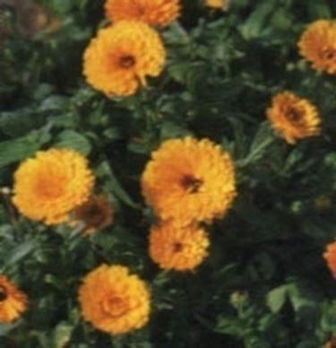linguaggio dei fiori perdono calendola linguaggio dei fiori calendola linguaggio
