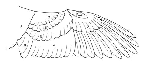bird wing diagram upperwing feathers of a bird the animal files