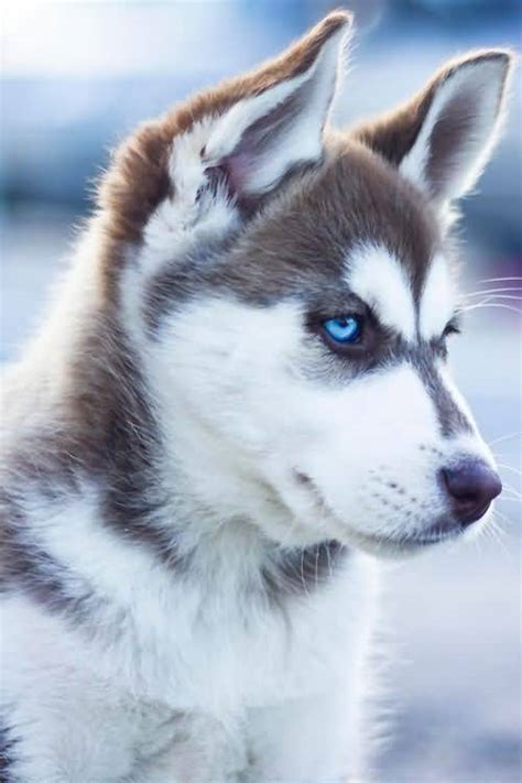 husky puppies with blue 50 exclusive siberian husky photos golfian