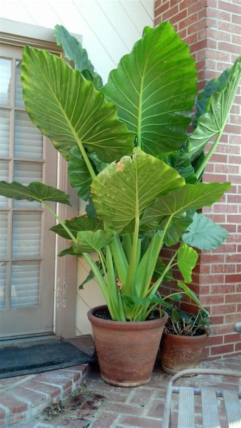the elephant ear plant is your outdoor and indoor area
