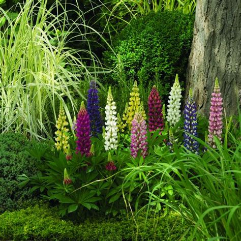 colorful lupines adding character  flower garden design